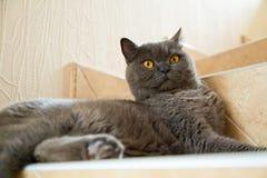 Βρετανική γάτα με τα μεγάλα πορτοκαλιά μάτια στοκ φωτογραφία με δικαίωμα ελεύθερης χρήσης