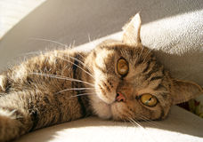 Βρετανική γάτα που βάζει στον ήλιο Στοκ φωτογραφία με δικαίωμα ελεύθερης χρήσης