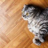 Βρετανική γάτα που βρίσκεται στο πάτωμα έκπληκτη σκωτσέζικη γάτα στο πάτωμα με το διάστημα αντιγράφων Στοκ Φωτογραφία