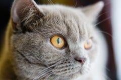 Βρετανική γάτα που εξετάζει τη μακροεντολή παραθύρων Μακροεντολή ματιών γατών στοκ φωτογραφία με δικαίωμα ελεύθερης χρήσης