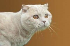 Βρετανική γάτα πτυχών Στοκ Εικόνα