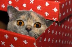 Βρετανική γάτα σε ένα κόκκινο κιβώτιο δώρων στοκ εικόνα με δικαίωμα ελεύθερης χρήσης