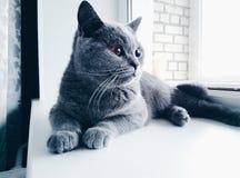 Βρετανική γάτα σε ένα windowsill Στοκ εικόνα με δικαίωμα ελεύθερης χρήσης