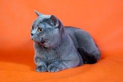 Βρετανική γάτα στο πορτοκαλί υπόβαθρο Στοκ εικόνες με δικαίωμα ελεύθερης χρήσης