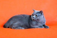 Βρετανική γάτα στο πορτοκαλί υπόβαθρο Στοκ εικόνα με δικαίωμα ελεύθερης χρήσης