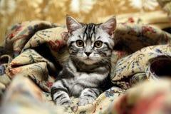 βρετανική γάτα τιγρέ Στοκ Εικόνες