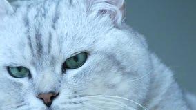 Βρετανική γάτα τσιντσιλά που γίνεται επικεφαλής προς τη κάμερα απόθεμα βίντεο