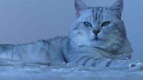 Βρετανική γάτα τσιντσιλά που κοιτάζει γύρω απόθεμα βίντεο