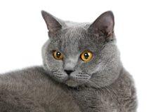 βρετανική γάτα Στοκ Φωτογραφίες