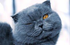 βρετανική γάτα Στοκ εικόνες με δικαίωμα ελεύθερης χρήσης