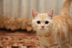 Βρετανική γάτα Στοκ Φωτογραφία