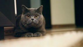 Βρετανική γάτα απόθεμα βίντεο