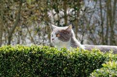 Βρετανική γάτα shorthair που κοιτάζει πέρα από το φράκτη πυξαριού στοκ φωτογραφίες με δικαίωμα ελεύθερης χρήσης