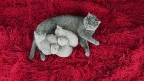 Βρετανική γάτα Shorthair που ταΐζει τα γατάκια της σε ένα χνουδωτό κόκκινο κάλυμμα φιλμ μικρού μήκους