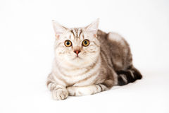 Βρετανική γάτα shorthair Στοκ φωτογραφία με δικαίωμα ελεύθερης χρήσης