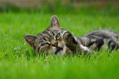 βρετανική γάτα shorthair Στοκ Φωτογραφίες