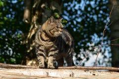 βρετανική γάτα shorthair Στοκ Εικόνες