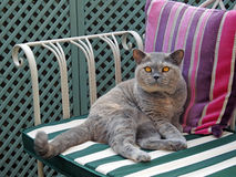 βρετανική γάτα shorthair Στοκ εικόνες με δικαίωμα ελεύθερης χρήσης
