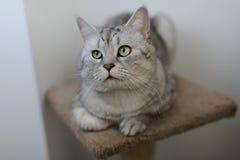 Βρετανική γάτα Whiskas Στοκ εικόνα με δικαίωμα ελεύθερης χρήσης