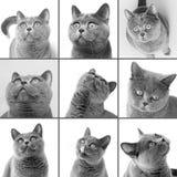 Βρετανική κινηματογράφηση σε πρώτο πλάνο γατών shorthair Στοκ φωτογραφία με δικαίωμα ελεύθερης χρήσης