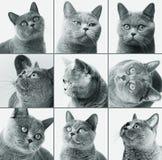 Βρετανική κινηματογράφηση σε πρώτο πλάνο γατών shorthair Στοκ εικόνες με δικαίωμα ελεύθερης χρήσης
