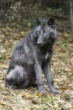 Βρετανική κολομβιανή κατακόρυφος λύκων Στοκ φωτογραφία με δικαίωμα ελεύθερης χρήσης