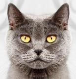 Βρετανική κοντή γάτα τριχώματος στοκ φωτογραφία με δικαίωμα ελεύθερης χρήσης