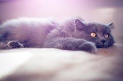 Βρετανική μακρυμάλλης γάτα Στοκ Εικόνες