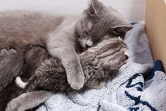 Βρετανική μητέρα Shorthair με το γατάκι της Στοκ εικόνες με δικαίωμα ελεύθερης χρήσης