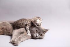 Βρετανική μητέρα Shorthair με το γατάκι της Στοκ Εικόνες