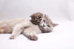 Βρετανική μητέρα Shorthair με το γατάκι της Στοκ εικόνα με δικαίωμα ελεύθερης χρήσης