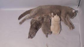 Βρετανική μητέρα Shorthair που θηλάζει τα μωρά της φιλμ μικρού μήκους