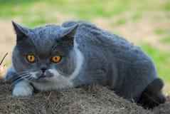 Βρετανική μπλε γάτα Στοκ φωτογραφία με δικαίωμα ελεύθερης χρήσης