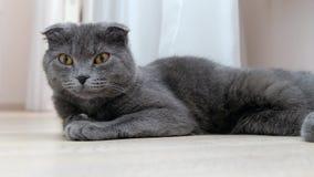 Βρετανική σκωτσέζικη γάτα πτυχών που στηρίζεται και που κοιτάζει προς τη κάμερα απόθεμα βίντεο