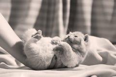 Βρετανική συνεδρίαση γατακιών Shorthair ιώδης στα σεντόνια, πόδια επάνω Στοκ φωτογραφίες με δικαίωμα ελεύθερης χρήσης