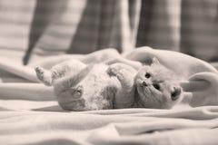 Βρετανική συνεδρίαση γατακιών Shorthair ιώδης στα σεντόνια, πόδια επάνω Στοκ εικόνα με δικαίωμα ελεύθερης χρήσης