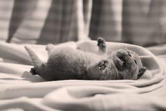 Βρετανική συνεδρίαση γατακιών Shorthair μπλε στα σεντόνια, πόδια επάνω Στοκ φωτογραφία με δικαίωμα ελεύθερης χρήσης