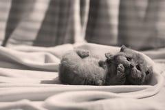 Βρετανική συνεδρίαση γατακιών Shorthair μπλε στα σεντόνια, πόδια επάνω Στοκ εικόνες με δικαίωμα ελεύθερης χρήσης