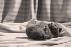 Βρετανική συνεδρίαση γατακιών Shorthair μπλε στα σεντόνια, πόδια επάνω Στοκ Εικόνα