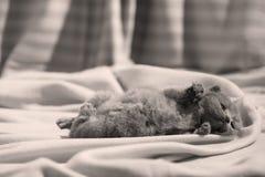 Βρετανική συνεδρίαση γατακιών Shorthair μπλε στα σεντόνια, πόδια επάνω Στοκ Εικόνες