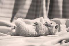 Βρετανική συνεδρίαση γατακιών Shorthair μπλε στα σεντόνια, χαριτωμένο πρόσωπο Στοκ φωτογραφία με δικαίωμα ελεύθερης χρήσης