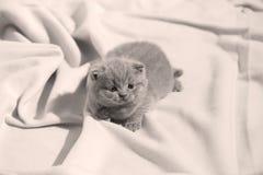 Βρετανική συνεδρίαση γατακιών Shorthair μπλε στα σεντόνια, χαριτωμένο πρόσωπο Στοκ εικόνα με δικαίωμα ελεύθερης χρήσης