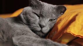Βρετανικοί γκρίζοι ύπνοι γατών απόθεμα βίντεο