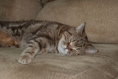 Βρετανικοί ύπνοι γατών σοκολάτας Στοκ εικόνα με δικαίωμα ελεύθερης χρήσης