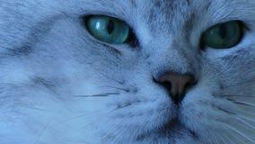 Βρετανικός ακραίος στενός επάνω γατών τσιντσιλά απόθεμα βίντεο