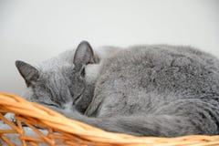 Βρετανικός μπλε ύπνος γατών σε ένα καλάθι Στοκ φωτογραφίες με δικαίωμα ελεύθερης χρήσης