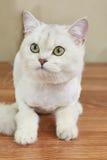 Βρετανικός στενός επάνω γατών shorthair Στοκ φωτογραφία με δικαίωμα ελεύθερης χρήσης