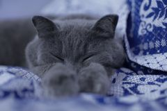 Βρετανικός ύπνος γατών στοκ εικόνες