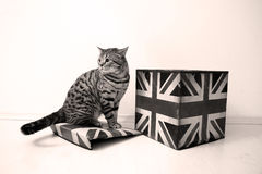 Βρετανικό αρσενικό Shorthair Στοκ Εικόνες
