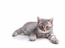 Βρετανικό γατάκι, αστείος, άσπρος, που απομονώνεται, Στοκ φωτογραφία με δικαίωμα ελεύθερης χρήσης